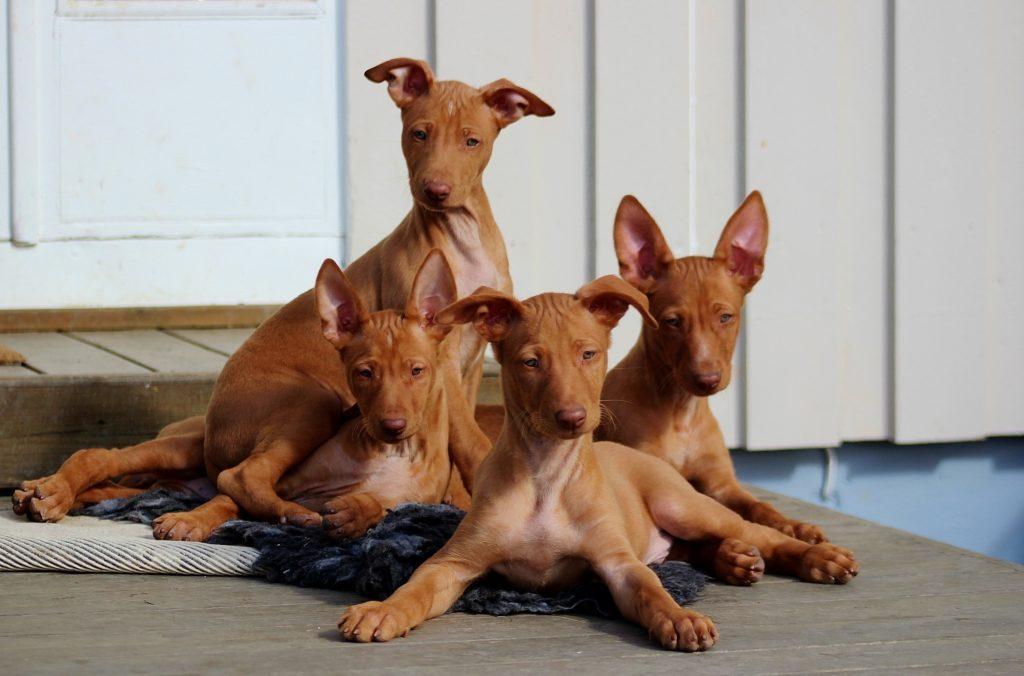 faraohund valp